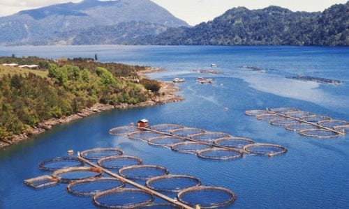 The New York Times denuncia los graves daños ecológicos que causa la industria salmonera en Chile