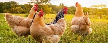 China observa una nueva variación de gripe aviar que ya tiene a un hombre de 41 años en el hospital